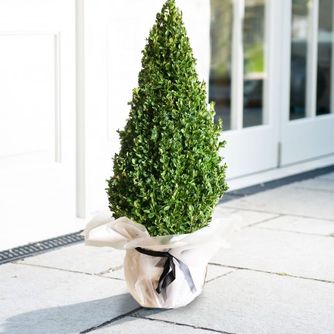 Topiary Buxus Pyramid