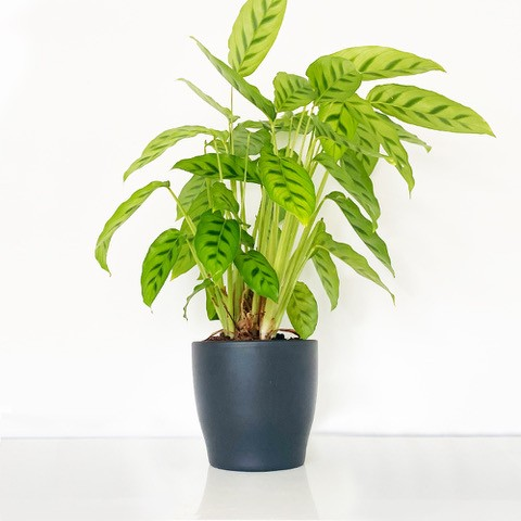 Mixed Calathea Plant