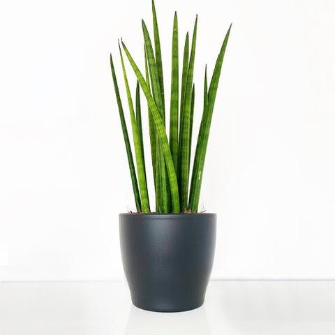 Cylindrical Snake Plant