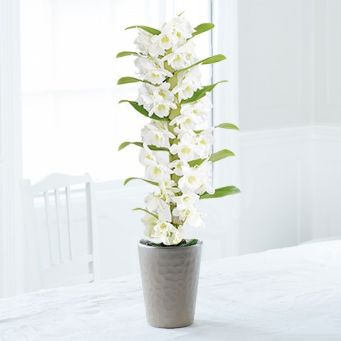 White Scented Dendrobium Orchid In Pot