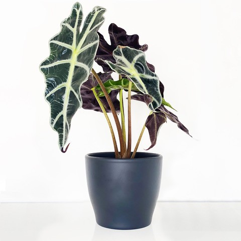 Alocasia Elephant Ear