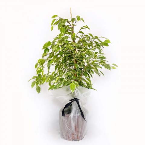 Large Ficus Benjamina (100cm)