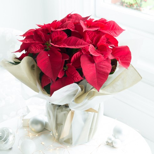 Gift Wrapped Poinsettia