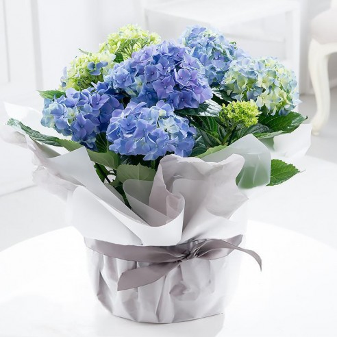 Large Gift Wrapped Blue Hydrangea Plant