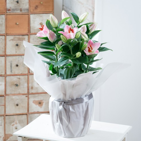 Gift Wrapped Pink Lily Plant