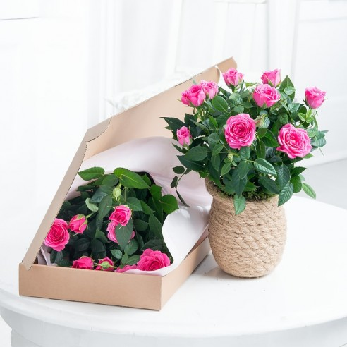 Letterbox Pink Rose Plant