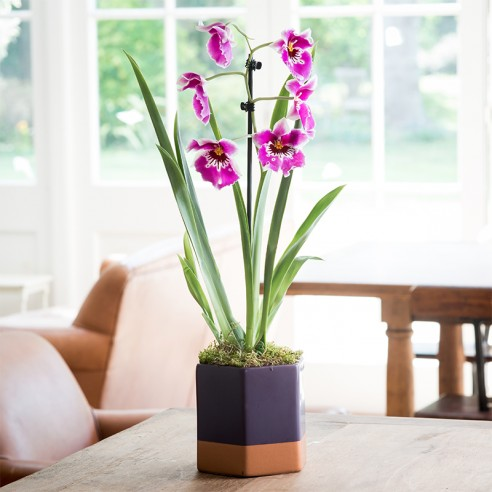 Miltonia Orchid Plant In Ceramic Bowl