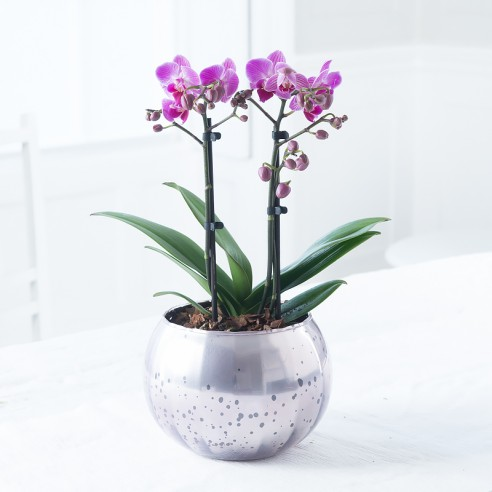 Luxury Pink Orchid Plant