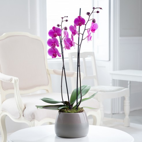 Double Stem Pink Orchid In Ceramic Bowl