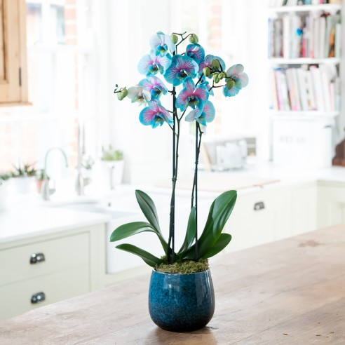 Double Stem Blue Orchid In Pot