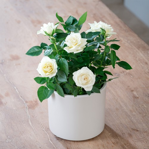 White roses luxury white roses bouquets appleyard flowers white rose plants mightylinksfo