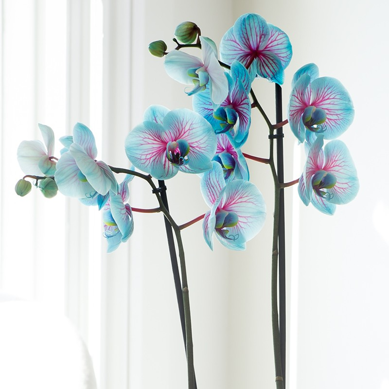 Double stem blue orchid plant in ceramic bowl mightylinksfo