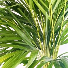 Large Areca Palm (100cm)