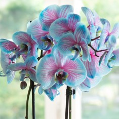 Valentine's Blue Orchid In Pot