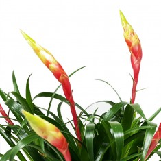 Bromeliad House Plant in Pot,  Whispering Angel & 6 Mixed Truffles