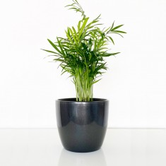 Chamaedorea House Plant
