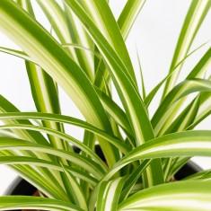 Chlorophytum House Plant