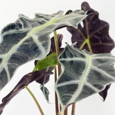 Alocasia Elephant Ear Plant in Pot, Prosecco & 6 Mixed Truffles