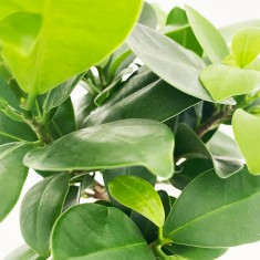 Ficus Ginseng Bonsai Plant in Pot, War Horse Chein Blanc & 6 Mixed Truffles