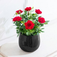 Red Rose Plant