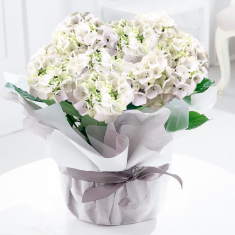 Gift Wrapped White Hydrangea Plant