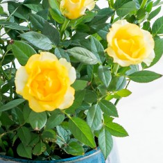 Yellow Rose Plant