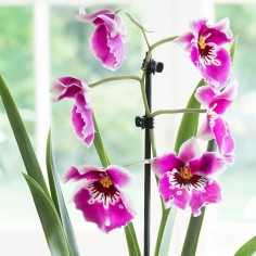 Miltonia Orchid Plant In Pot