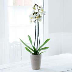 Double Stem White Orchid In Pot