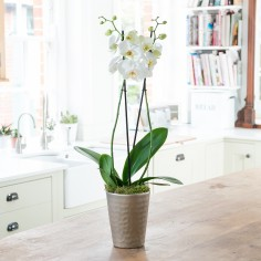 Double Stem White Orchid Plant In Ceramic Bowl