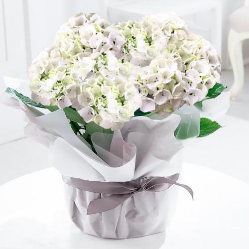Large Gift Wrapped White Hydrangea Plant